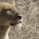 Løve i Kruger National Park