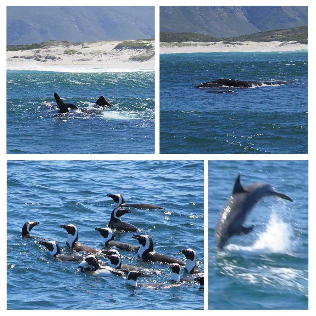 É bem difícil ver as baleias, mas os golfinhos e os pinguins fazem a festa