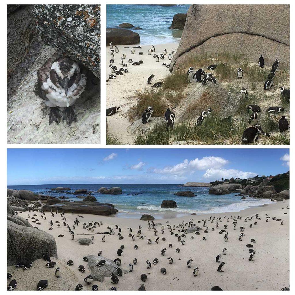 Imagina uma praia cobertade pinguins. Na África do Sul tem.