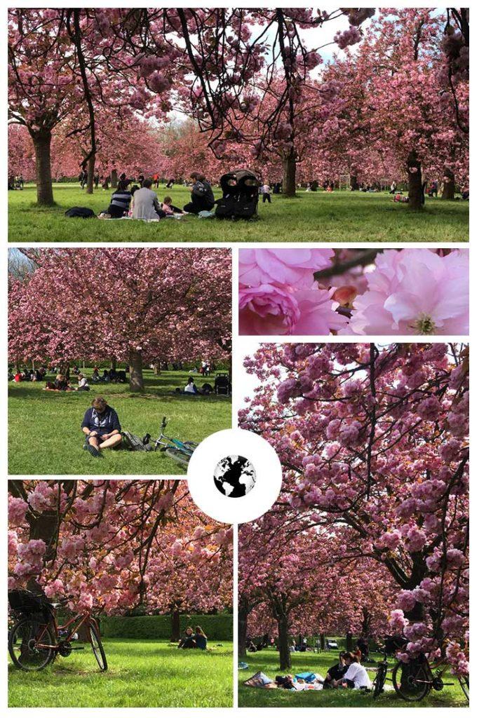 As cerejeiras japonesas deixam o ambiente simplesmente mágico