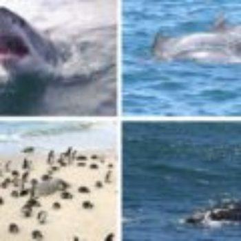 Tubarões, pinguins, baleias e golfinhos na África do Sul